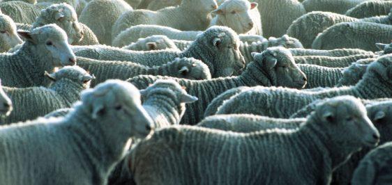 sheeps-B9