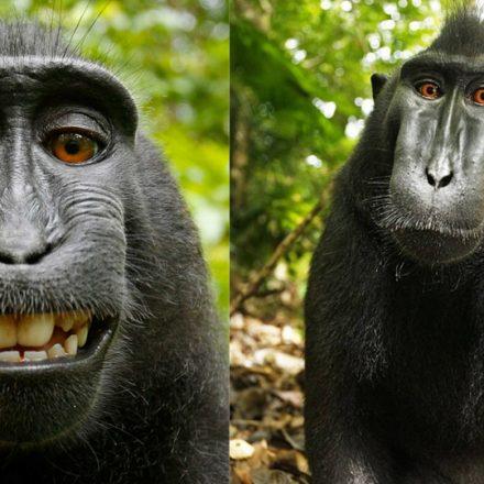 macaca-selfie-copyright