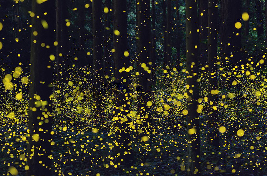 Fireflies Japan 2016
