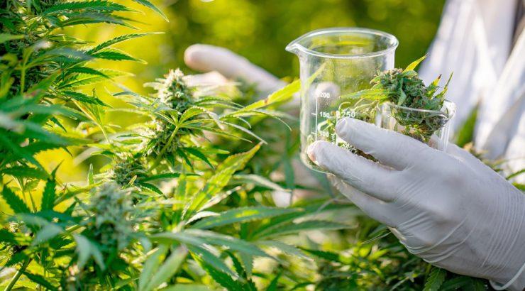 cannabis-onu-reclassificaçao